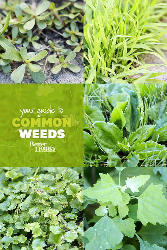 Garden weeds ontario garden ftempo for Weeds garden maintenance